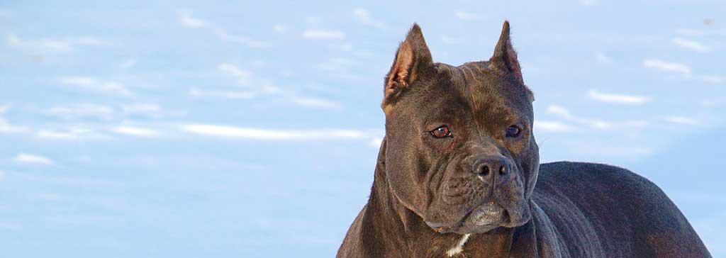 Blue Pitbulls For Sale Pitbull Puppies Blue Nose Pitbull
