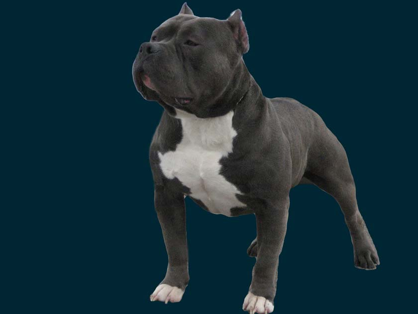 Blue Pitbull / The Famous BLUE REMY