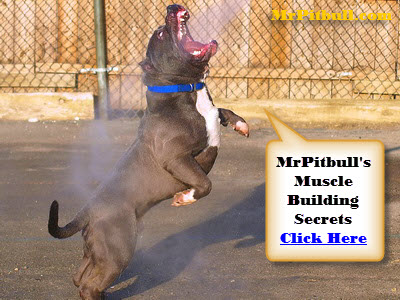 DOG TRAINING PITBULL