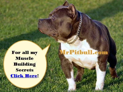 muscle building pitbull