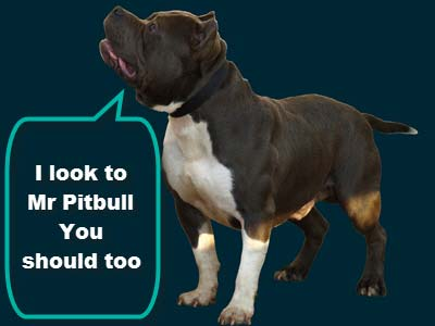 Pitbull muscle building
