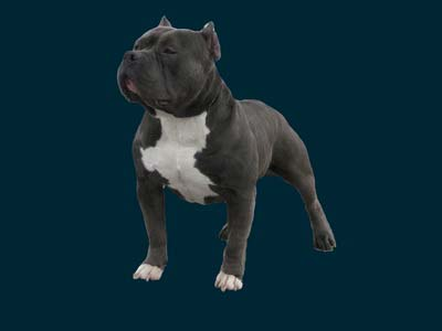 PITBULL STUD DOG