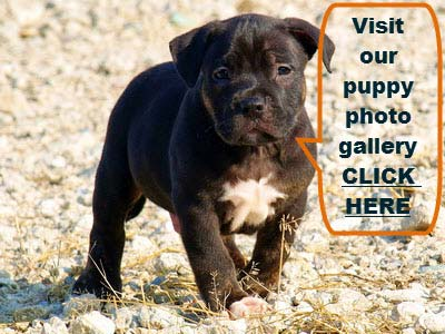 PITBULL PUPPY BREEDING