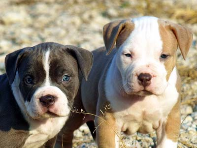 PITBULL PUPPY TRAINING