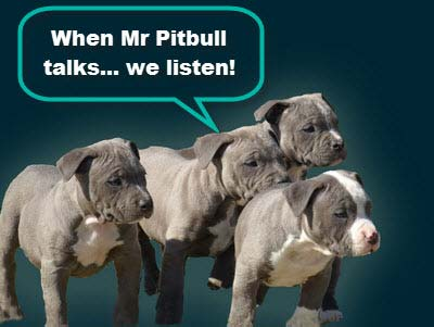 Mr Pitbull puppies