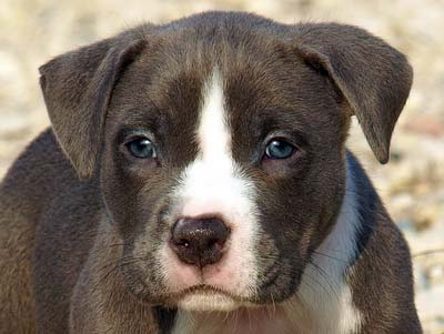 blue and white puppy