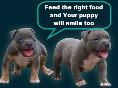 two bully pit bull puppies