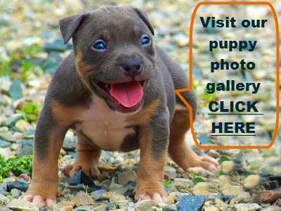 PITBULL PUPPIES PITCURE
