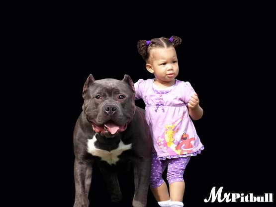 Pitbull with kids